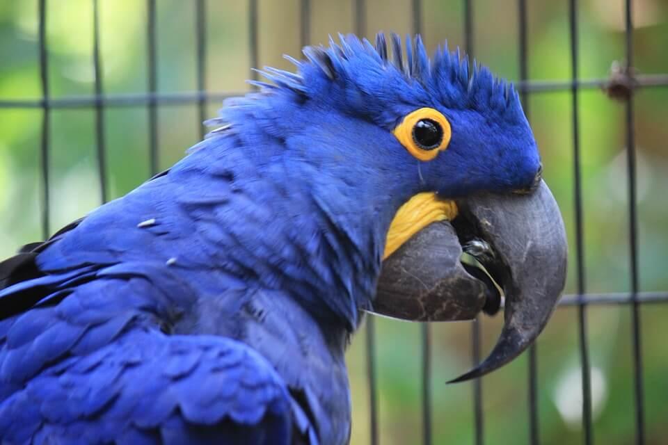 A arara-azul-grande é uma ave que ocorre nos biomas Floresta Amazônica e Cerrado. Atualmente, está ameaçada de extinção devido à caça, ao comércio clandestino e à destruição de seu habitat natural pelo homem.